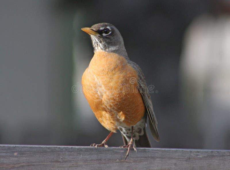 American Robin (Turdus Migratorius) Stock Image