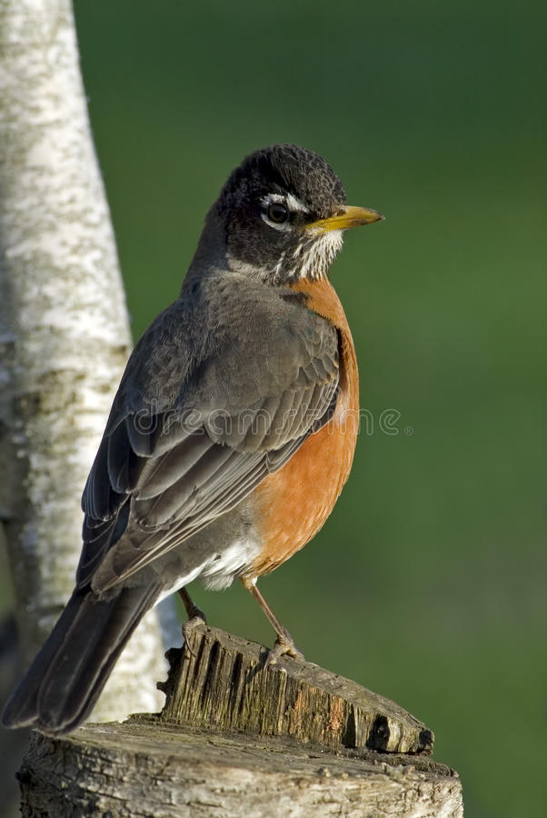 Download American Robin (Turdus Migratorius) Stock Photo - Image of robin, trees: 25436592
