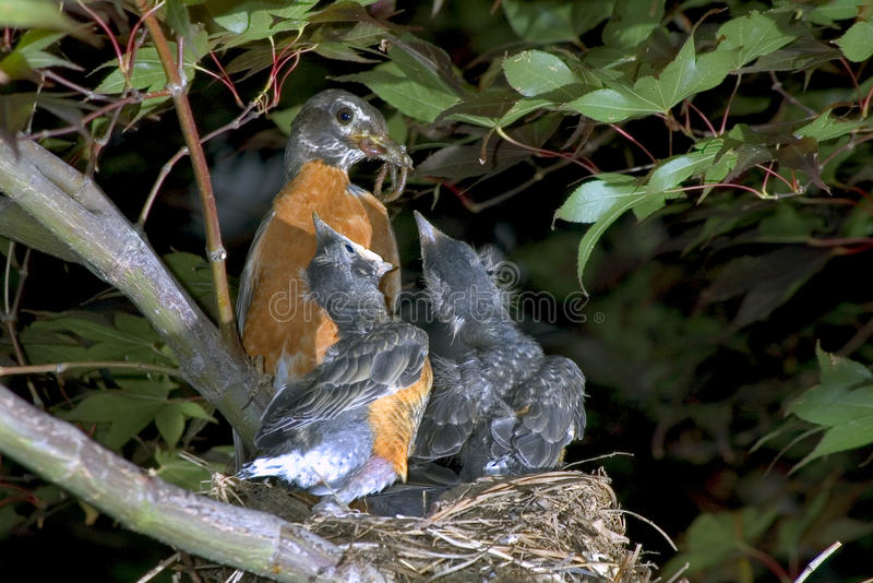 The American robin (Turdus migratorius) feeding. stock photo