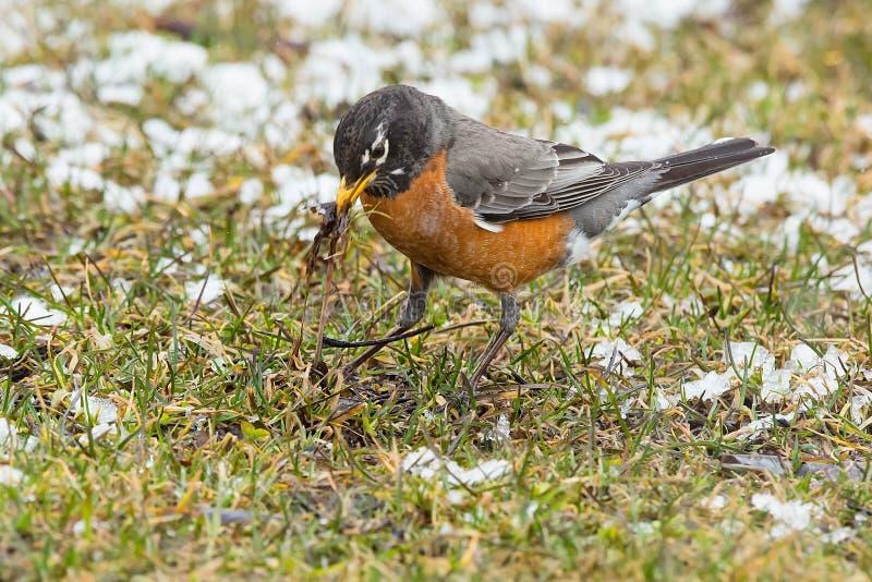 American Robin - Turdus migratorius royalty free stock image