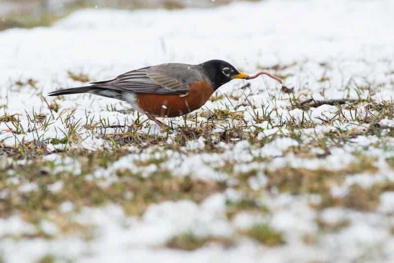 American Robin - Turdus migratorius stock images