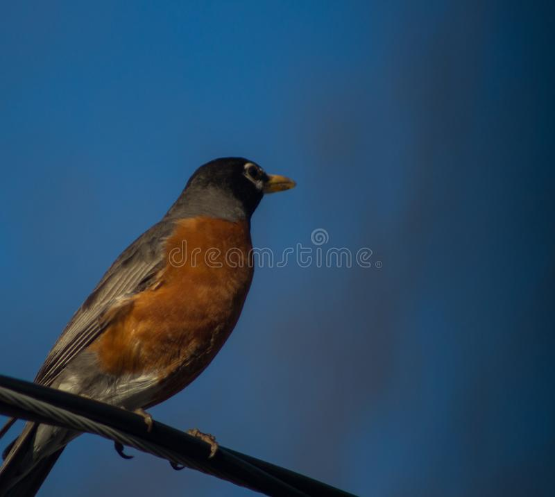 American robin on a wire looking off into the distance. American robin sitting on a tree branch observing its surroundings stock image