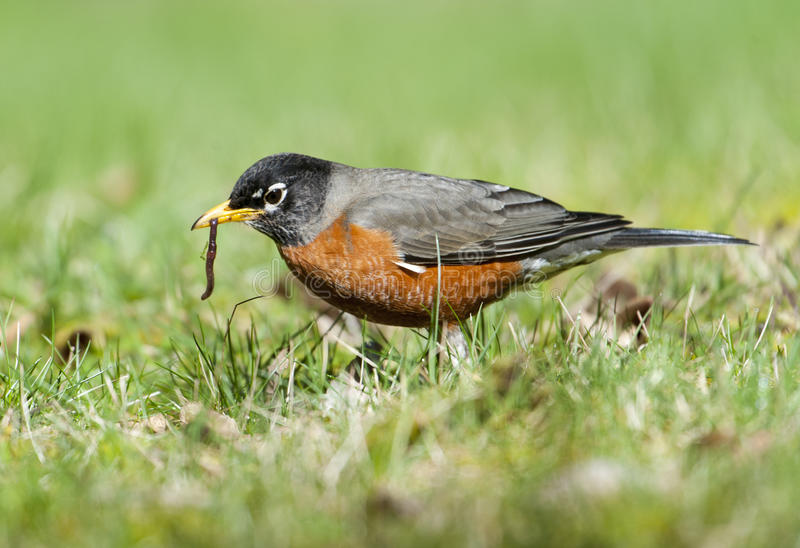Image result for robin eating a worm
