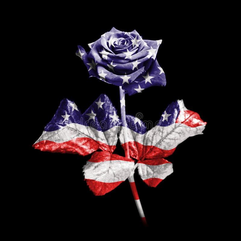 American rose royalty free stock image