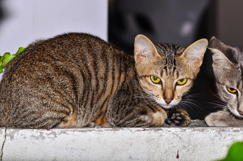 American Short Hair cat laying. On wall royalty free stock photos