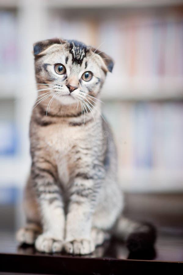 American shorthair cat royalty free stock image