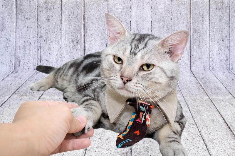 American shorthair cat with necktie and shake hands with human w. Ith copy space stock image