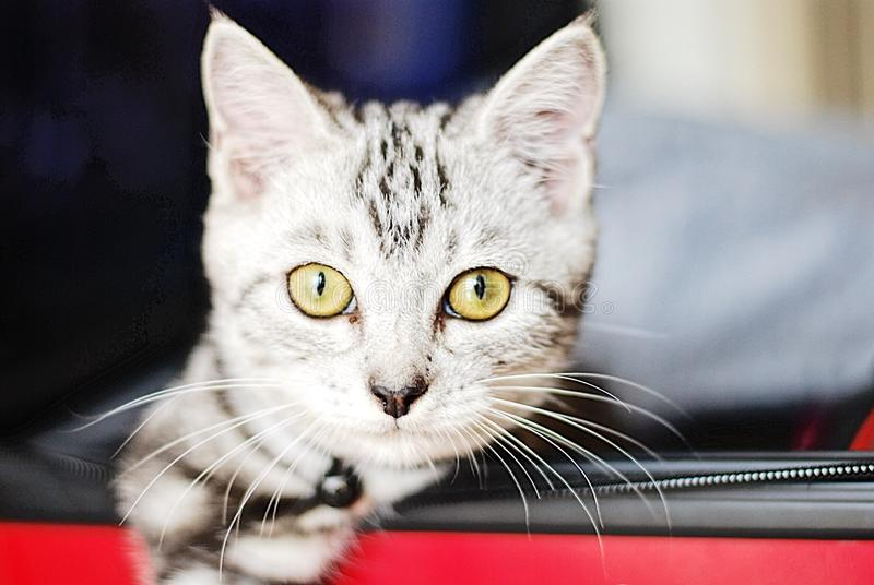 American shorthair cute little kitten royalty free stock photos