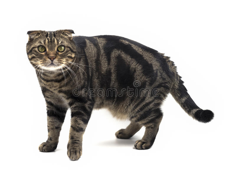 American Shorthair mix Scottish fold cat royalty free stock images
