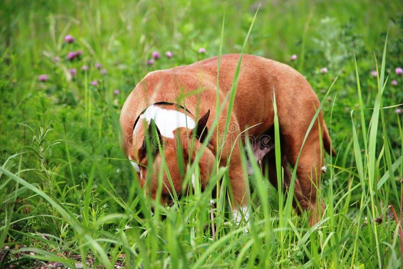 American stafford terrier stock photos