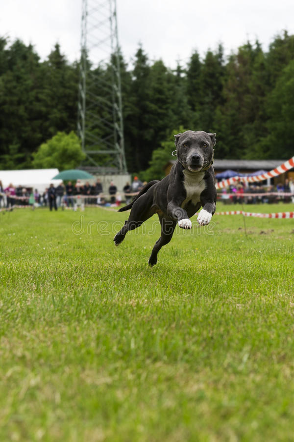 Download American Staffordshire Bullterrier In Action Stock Photos - Image: 25187193