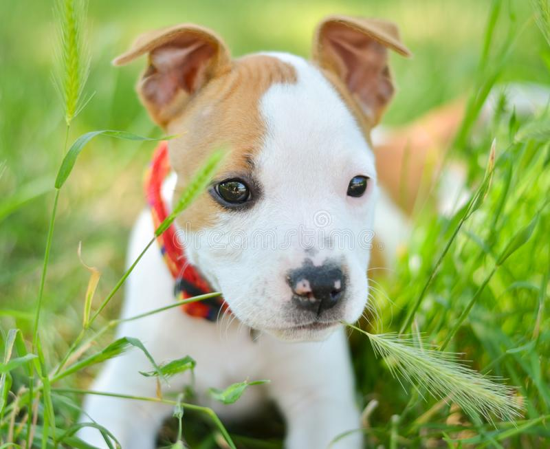 American Staffordshire cute terrier puppy chewing grass royalty free stock photos