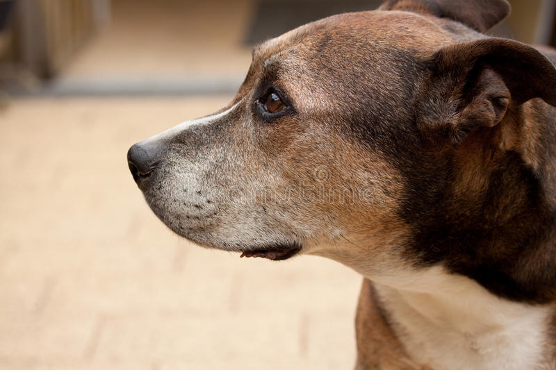 Download American Staffordshire Terrier Stock Photos - Image: 15397633