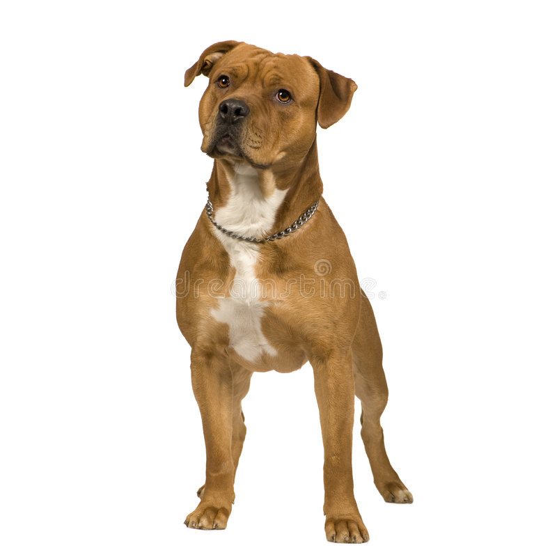 American Staffordshire terrier (2 years) royalty free stock image
