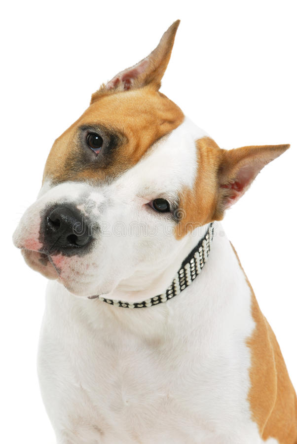 Download American Staffordshire Terrier Stock Image - Image: 21986339