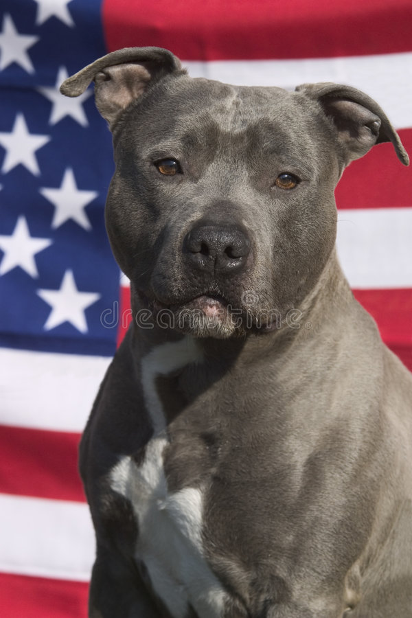 American staffordshire terrier. Dog and a flag royalty free stock photography