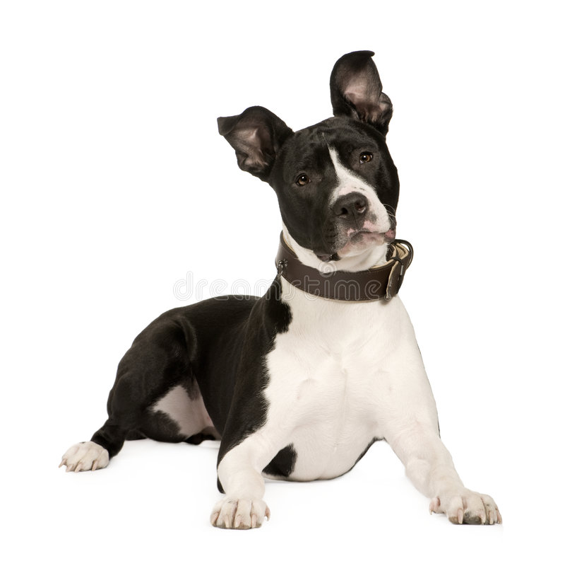 Download American Staffordshire Terrier (8 Months) Stock Photo - Image: 4990576
