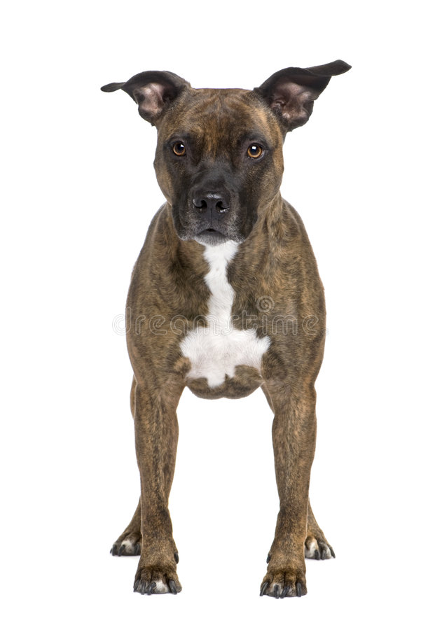 Free American Staffordshire Terrier (8 Years) Stock Photo - 7510540