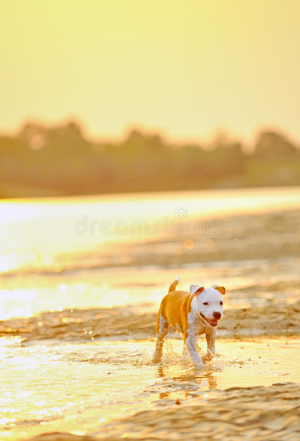 American Staffordshire Terrier dog play i royalty free stock photo
