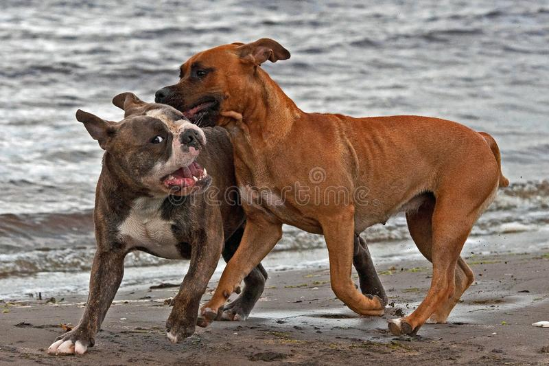Bulldog and American staffordshire terrier play on beach. American staffordshire terrier face Olde English Bulldog  for play fighting for a while on the beach royalty free stock images