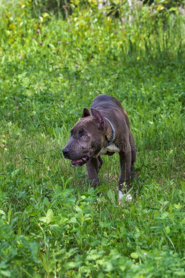 American Staffordshire Terrier in the meadow stock images