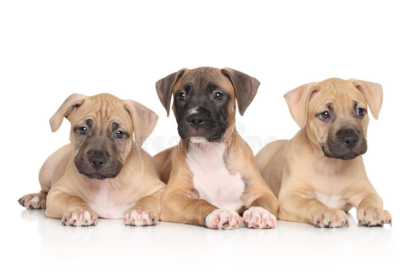 American Staffordshire terrier puppies stock photography