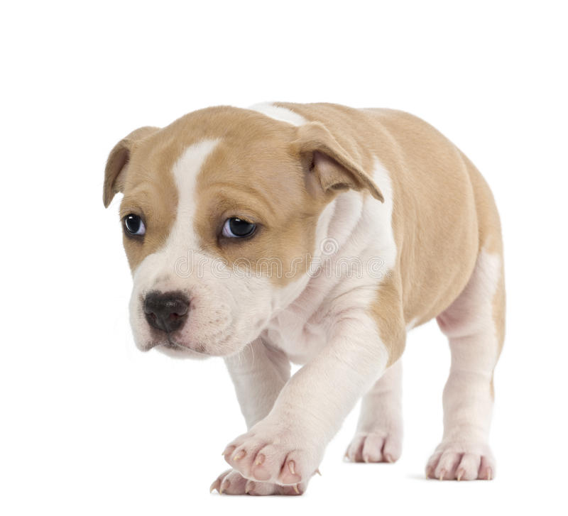 American Staffordshire Terrier Puppy. 6 weeks old, against white background stock image
