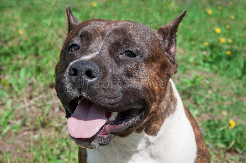 American staffordshire terrier puppy close up. Pet animals. stock photos