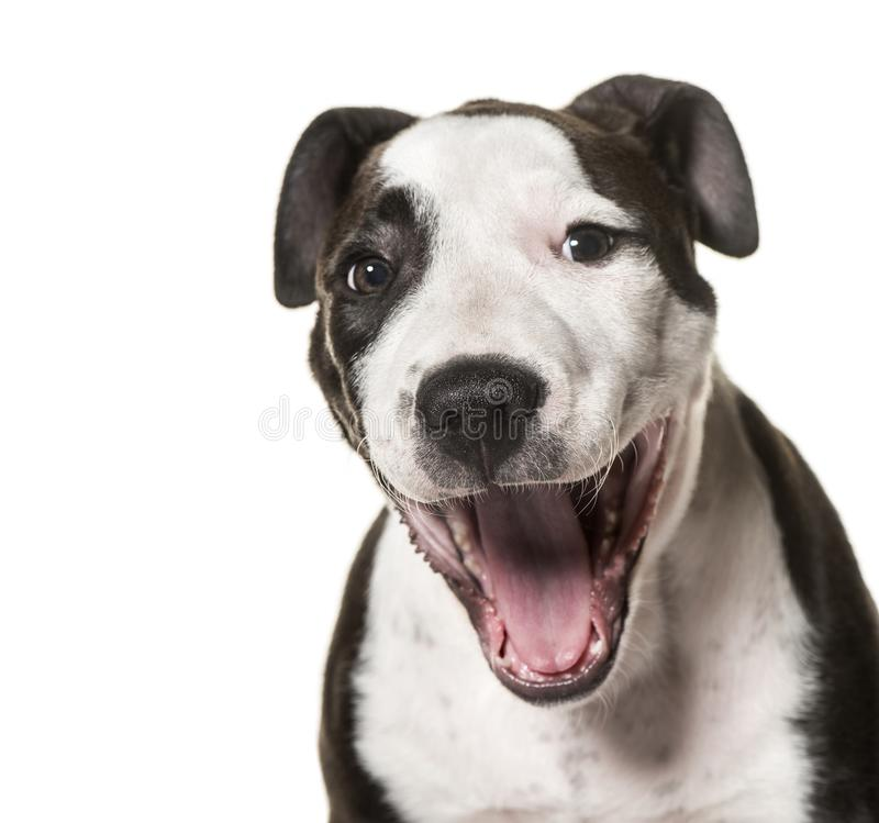 American Staffordshire Terrier puppy, 3 months old. Against white background stock photography