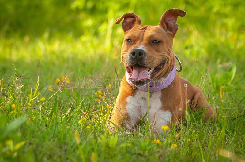American Staffordshire Terrier sitting on the grass stock photos