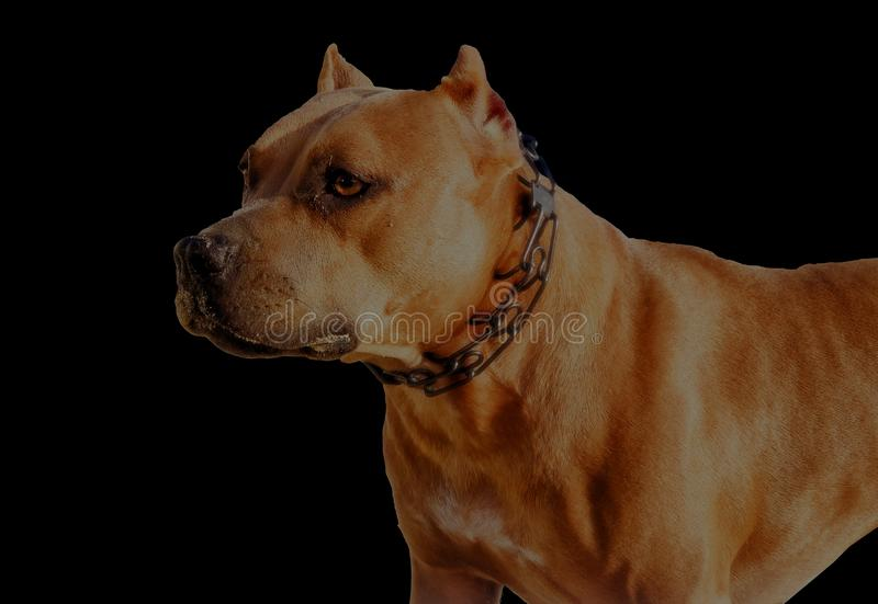 American Staffordshire Terrier sitting, isolated on black stock photo