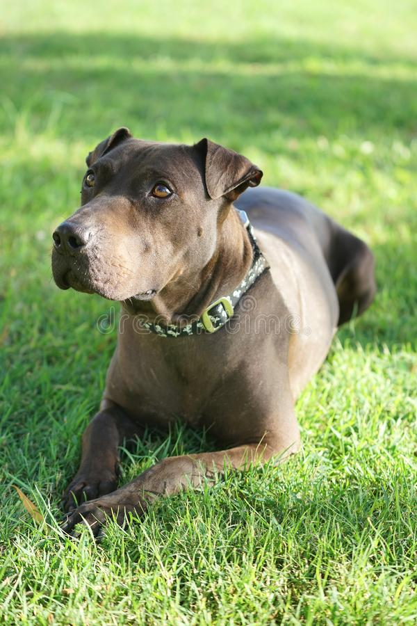 American Staffordshire Terrier Dog Closeup. The American Staffordshire Terrier, sometimes called the `Am Staff,` is a medium-large dog with a muscular build and royalty free stock photo