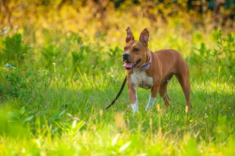American Staffordshire Terrier standing on the grass stock image