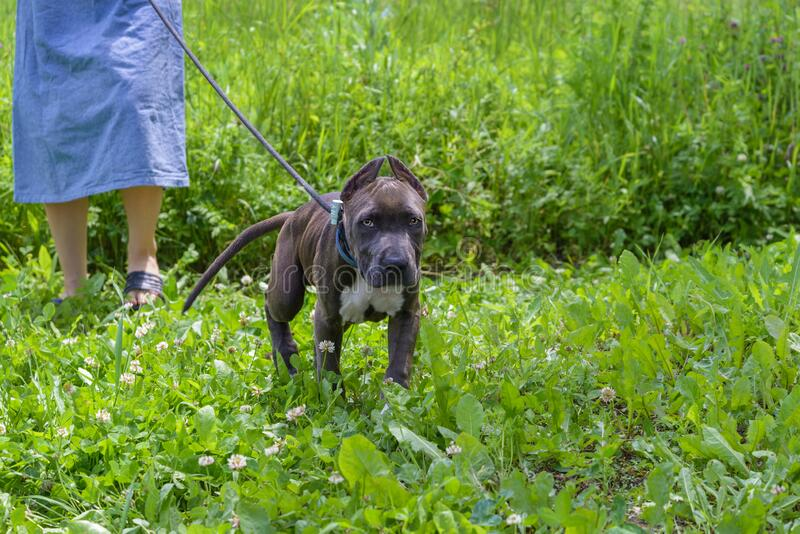American Staffordshire Terrier on a walk royalty free stock photos