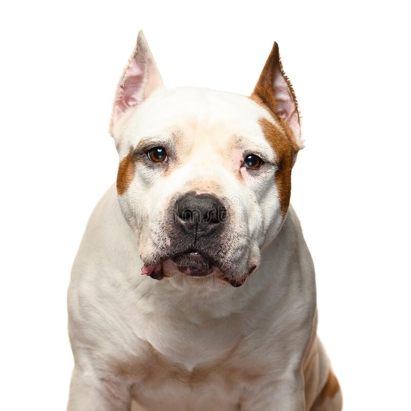 American Staffordshire Terrier on a white background stock photos