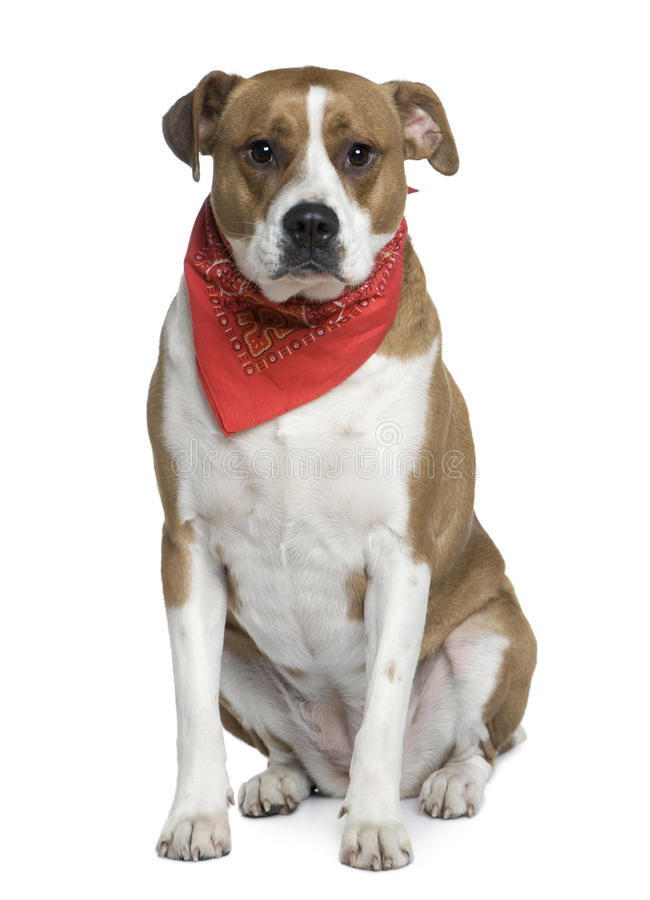 Download American Staffordshire Wearing Handkerchief Stock Image - Image: 15359115