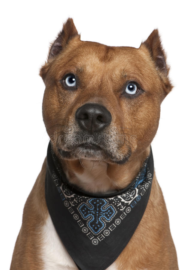 American Staffordshire Wearing Handkerchief Royalty Free Stock Images