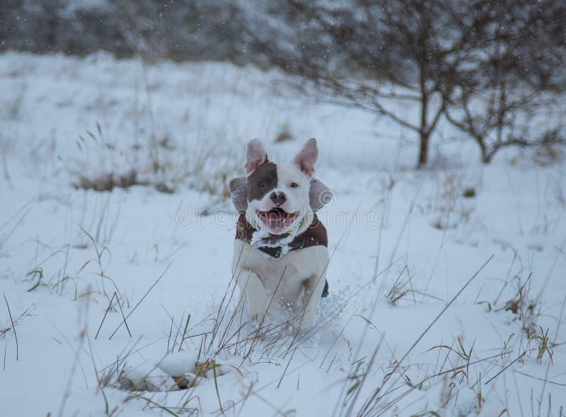 Stafforshire bull terrier Winter . Run stock photography