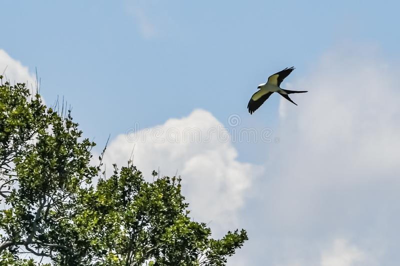 American Swallowtail Kite Soaring Over Trees. An American Swallowtail Kite in flight with clouds in the background and tree tops in the skies of Martin County stock photos