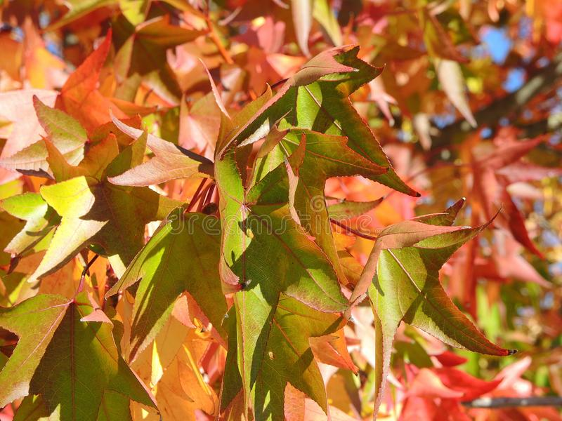 American sweetgum, in fall season with Its red, orange and yellow leaves royalty free stock photo