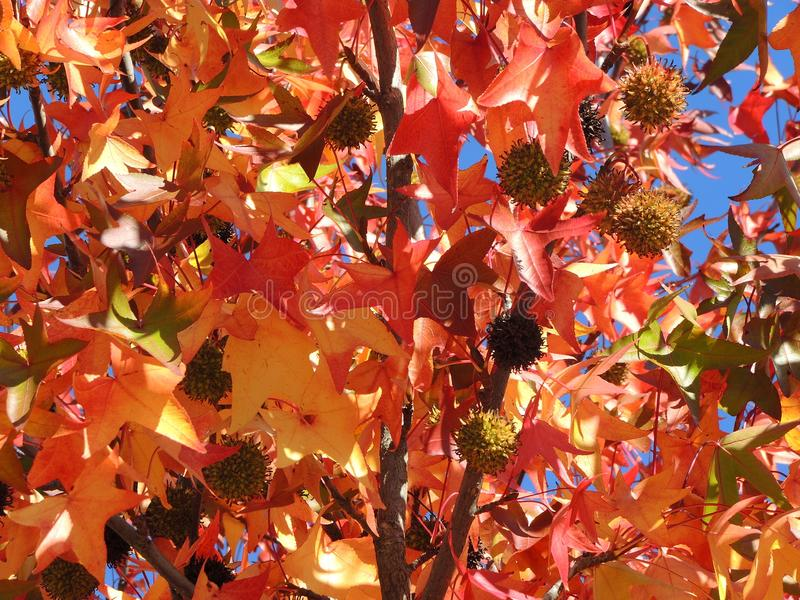 American sweetgum, in fall season with Its red, orange and yellow leaves royalty free stock photography