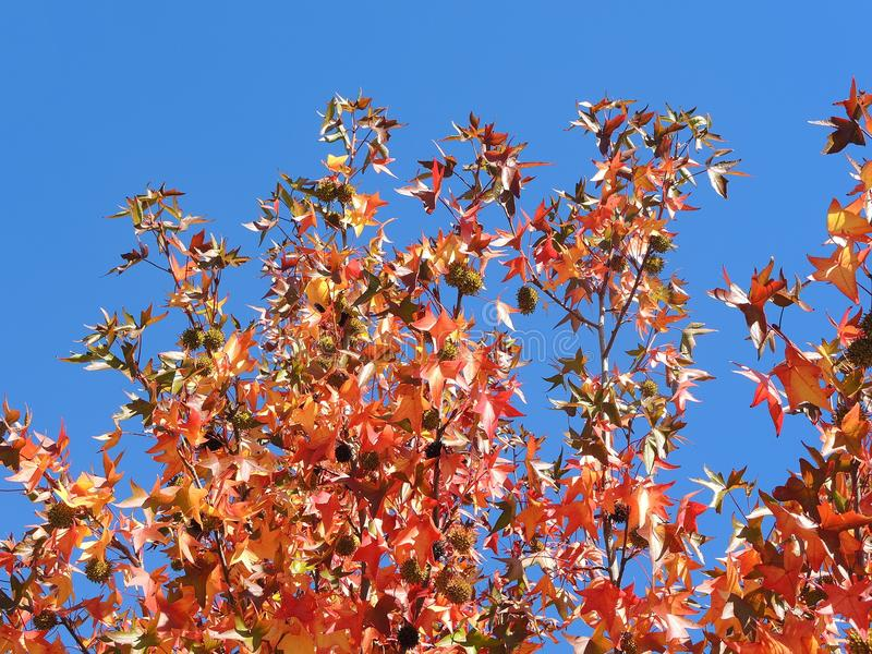 American sweetgum, in fall season with Its red, orange and yellow leaves stock photos