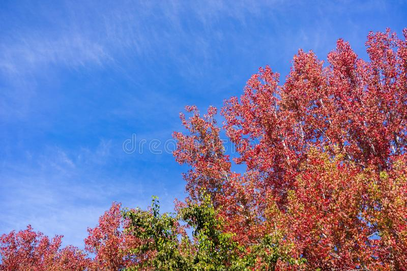 American sweetgum Liquidambar styraciflua autumn colored trees on a blue sky background; fall concept royalty free stock photography