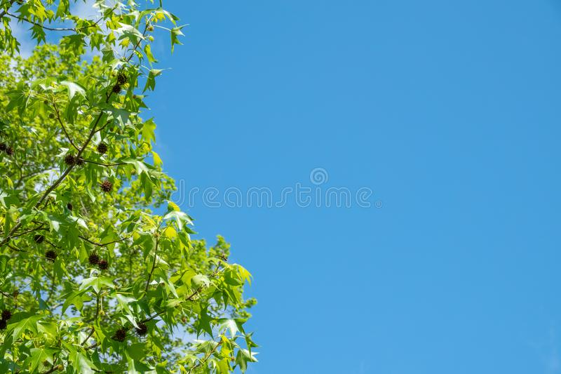 American sweetgum, Liquidambar styraciflua on a background of blue sky royalty free stock photography