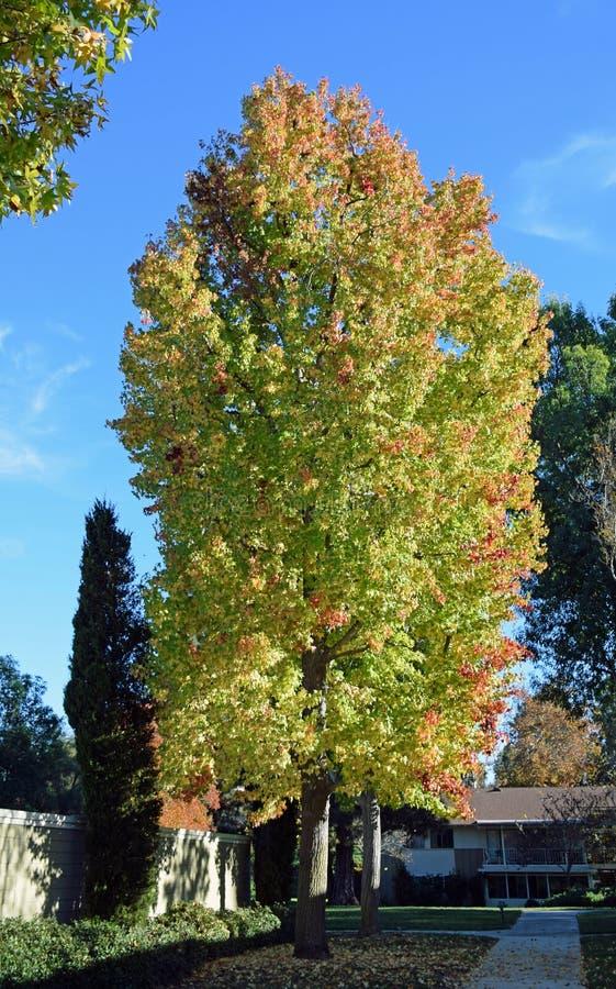 Mature American sweetgum (Liquidambar styraciflua) tree. stock images