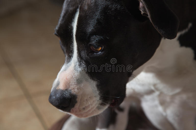 American Terrier Pitbull stock images
