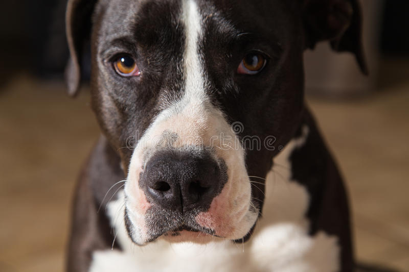 American Terrier Pitbull royalty free stock photos