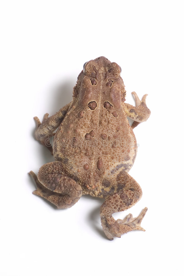 Free American Toad 6 Stock Photos - 1508093