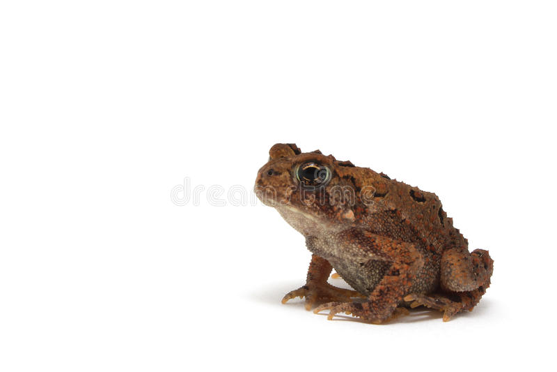 American Toad (Bufo americanus) royalty free stock images