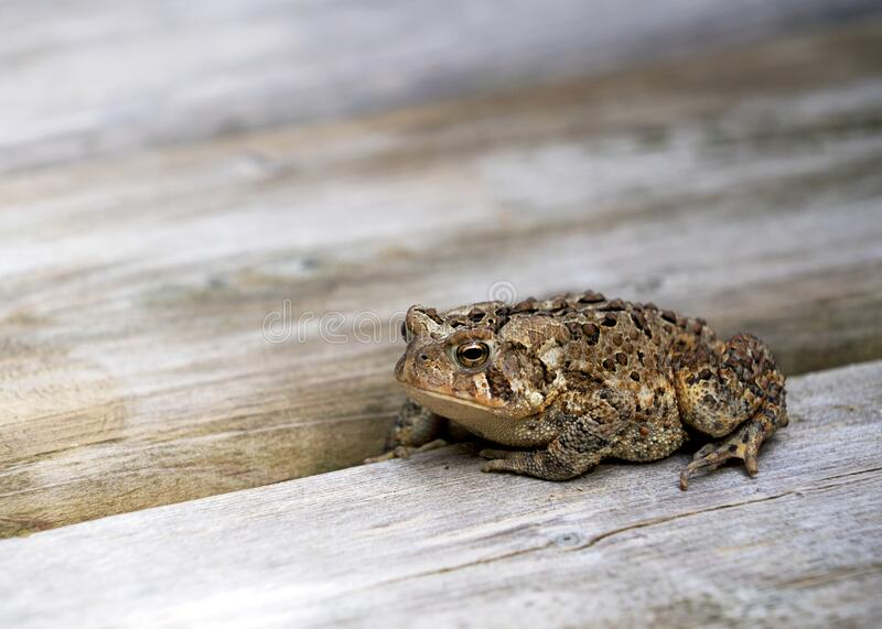 An American Toad sunning itself on a cottage deck. royalty free stock photography